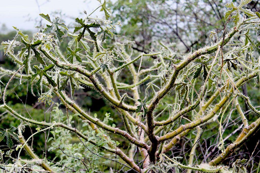 Cansanção Vegetação Caatinga e Cerrado de Paramirim