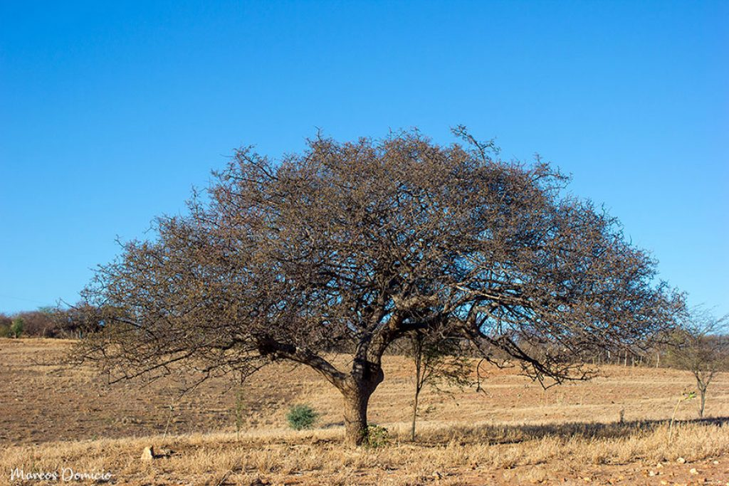 Umbuzeiro Vegetação Caatinga e Cerrado de Paramirim