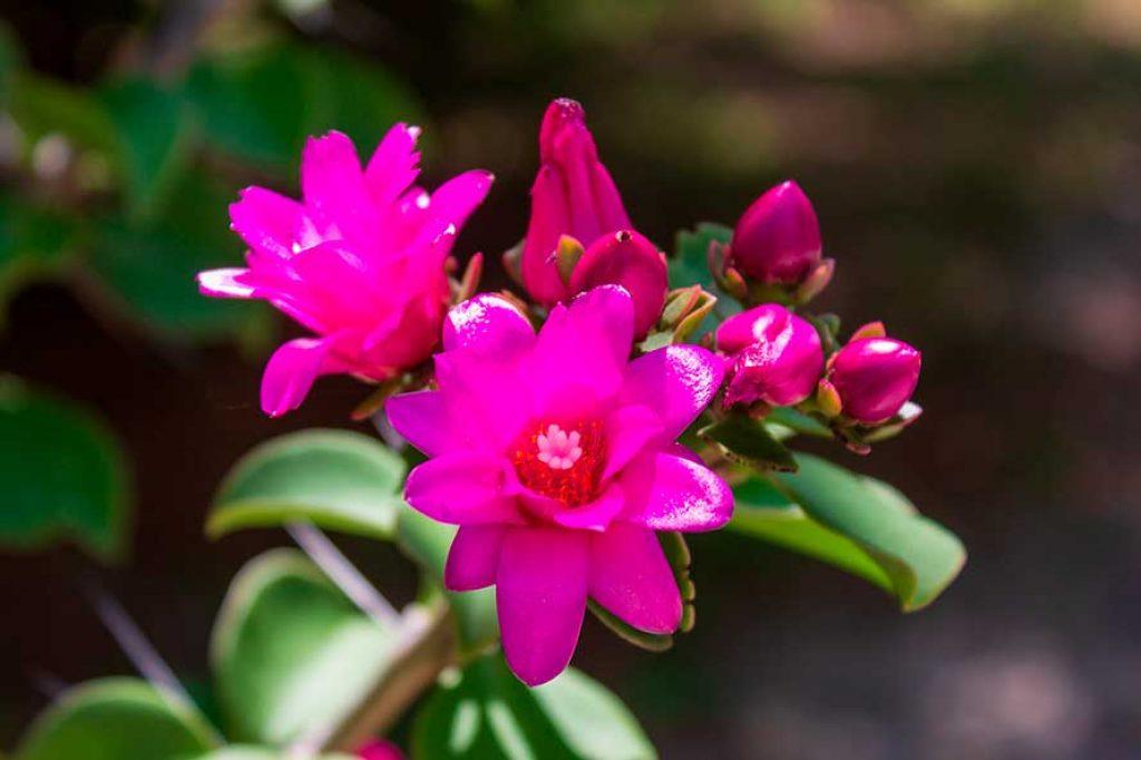Flor de quiabento - Vegetação da Caatinga